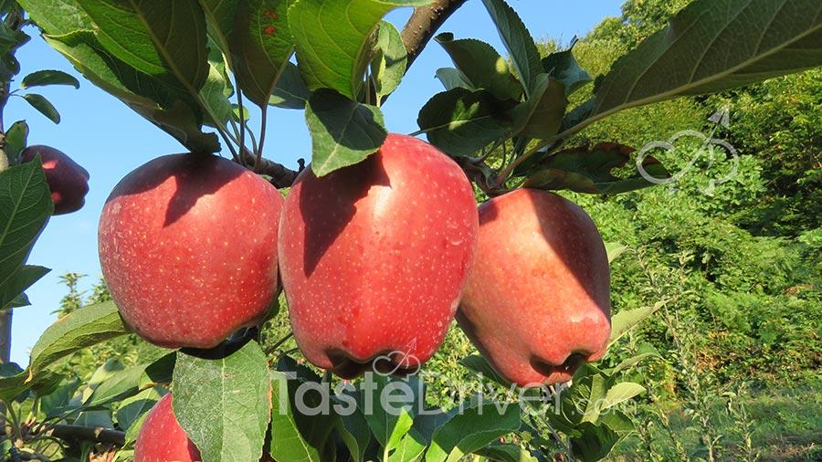 μήλα στο δέντρο